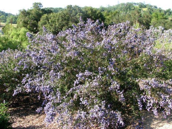 Ceanothus impressus Ceanothus impressus nipomensis Arroyo Grande Lilac