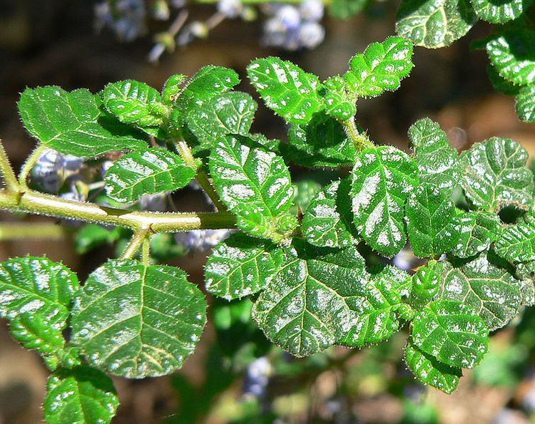 Ceanothus impressus Ceanothus impressus Santa Barbara Ceanothus PFAF Plant Database