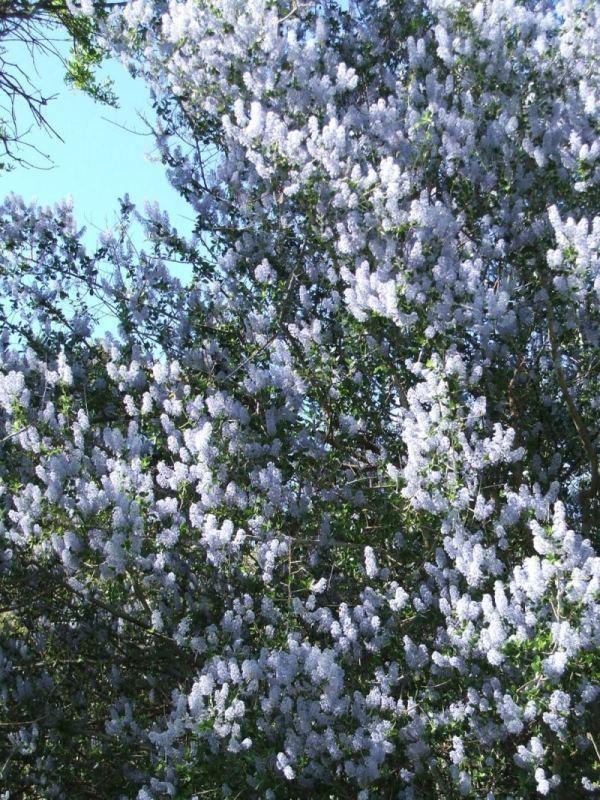Ceanothus leucodermis wwwlaspilitascomimagesgrid242436simagespl