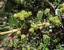 Ceanothus masonii httpsuploadwikimediaorgwikipediacommonsthu