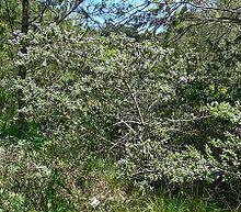 Ceanothus papillosus httpsuploadwikimediaorgwikipediacommonsthu