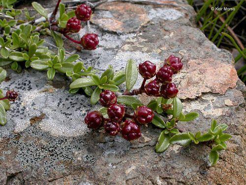 Ceanothus pumilus calscapecomPhotosCeanothuspumilusimage2jpg