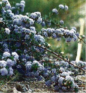 Ceanothus purpureus wwwlaspilitascomimagesgrid24125175simages
