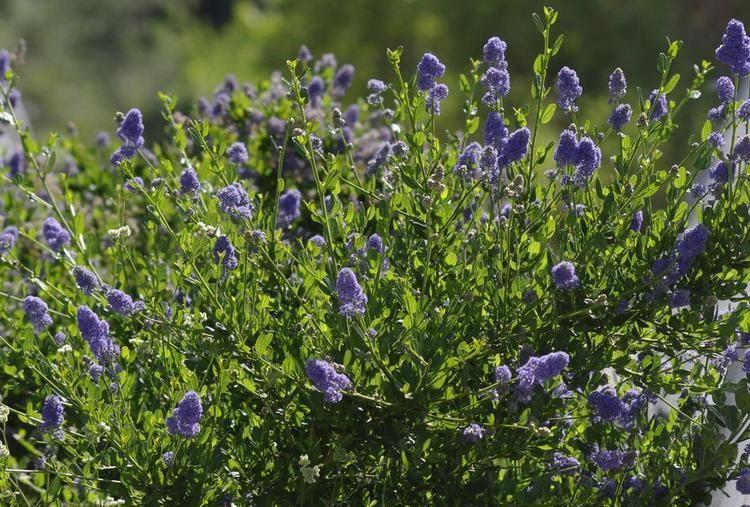 Ceanothus thyrsiflorus Ceanothus thyrsiflorus Skylark Blue Mountain Lilac