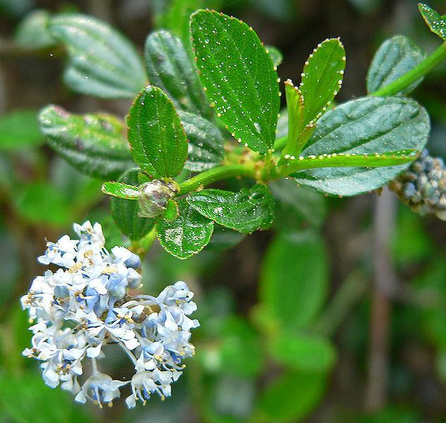 Ceanothus thyrsiflorus Ceanothus thyrsiflorus Blue Brush Blueblossom PFAF Plant Database