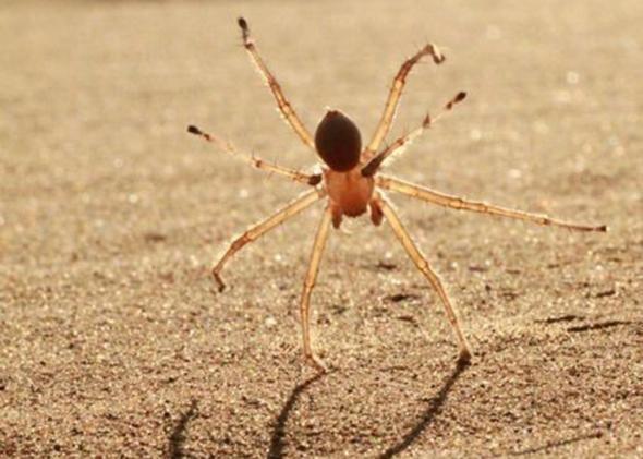 Cebrennus rechenbergi Somersaulting spider Moroccan desert spider Cebrennus rechenbergi