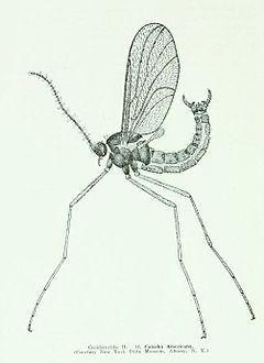 Cecidomyiidae httpsuploadwikimediaorgwikipediacommonsthu
