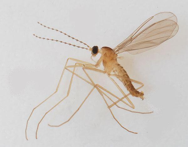 Cecidomyiidae Dipterainfo Discussion Forum strange Sciaroid