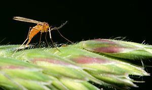 Cecidomyiidae Cecidomyiidae Wikipedia