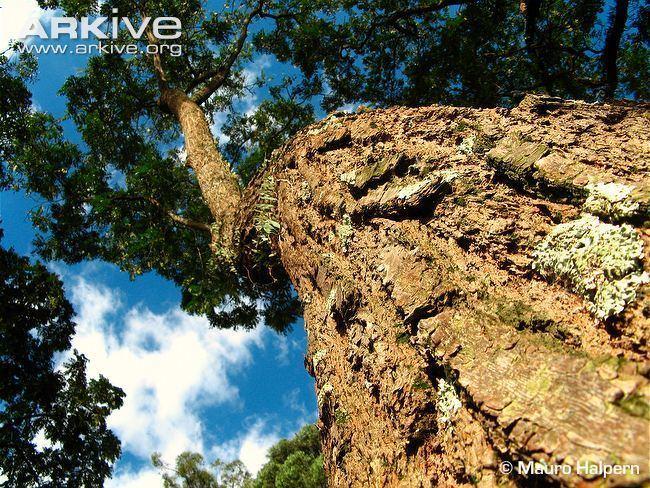 Cedrela fissilis Cedar photo Cedrela fissilis G107552 ARKive