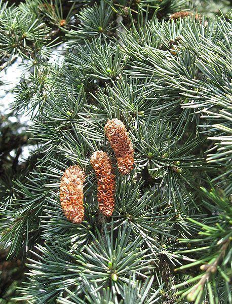 Cedrus Cedrus libani Cedar Of Lebanon PFAF Plant Database