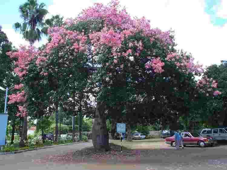 Ceiba speciosa Flora of Zimbabwe Cultivated species information individual