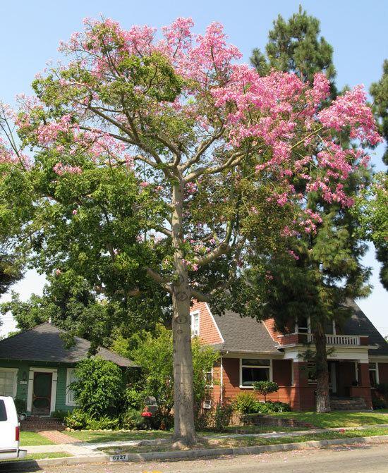 Ceiba speciosa UFEI SelecTree A Tree Selection Guide