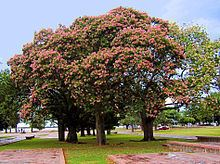 Ceiba speciosa Ceiba speciosa Wikipedia