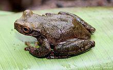 Ceiba stream frog httpsuploadwikimediaorgwikipediacommonsthu