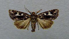 Celaena haworthii httpsuploadwikimediaorgwikipediacommonsthu