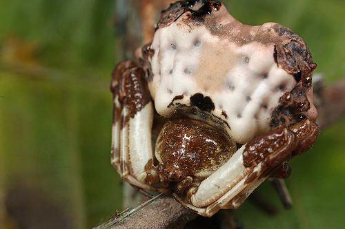 Celaenia excavata Celaenia excavata female Western Australia Birddropping Spider