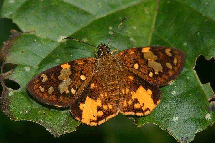 Celaenorrhinus Butterflies of Ghana