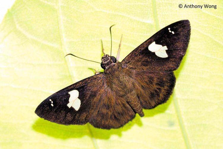 Celaenorrhinus ButterflyCircle Checklist