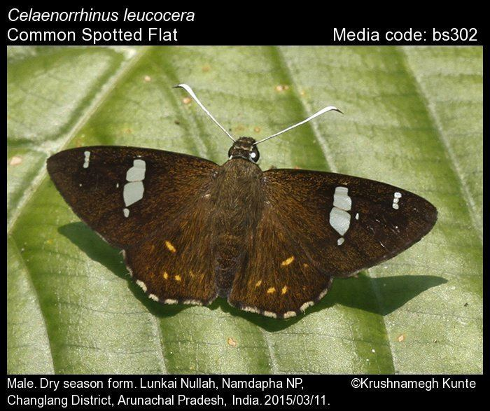 Celaenorrhinus Celaenorrhinus leucocera Common Spotted Flat Butterflies of India