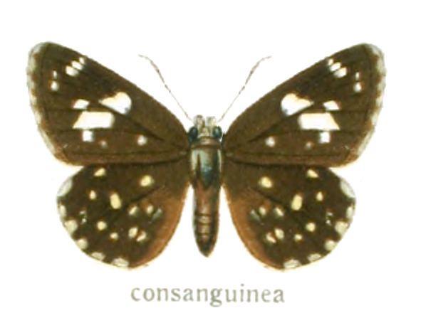 Celaenorrhinus consanguinea