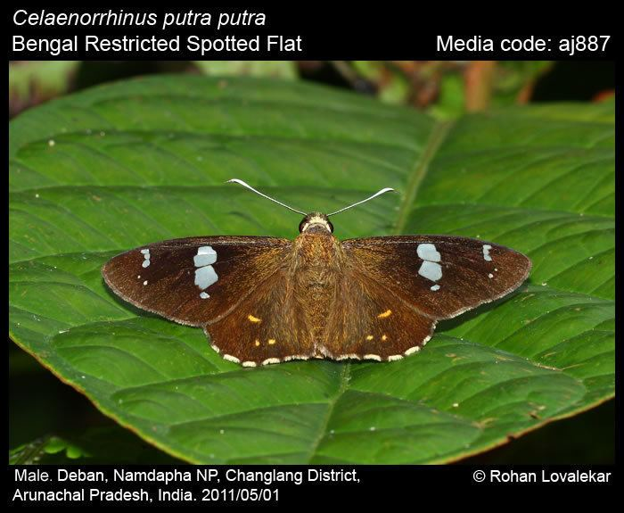 Celaenorrhinus Celaenorrhinus putra Restricted Spotted Flat Butterflies of India