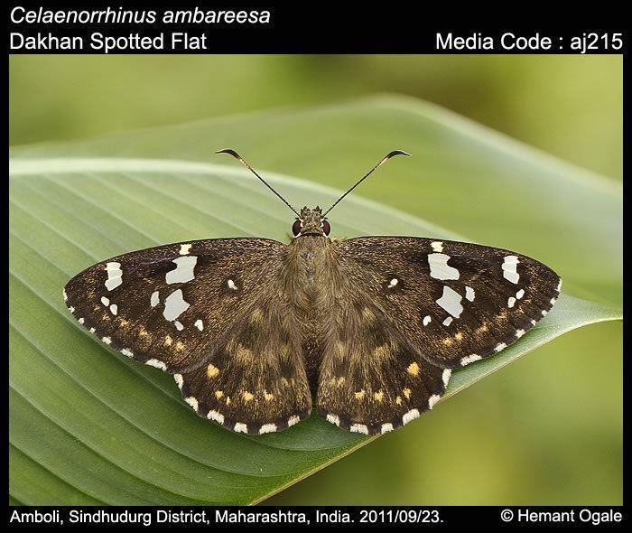 Celaenorrhinus Celaenorrhinus ambareesa Dakhan Spotted Flat Butterflies of India