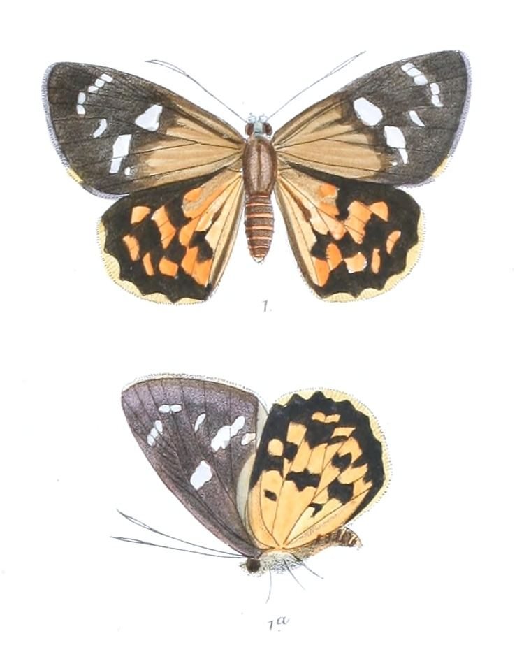 Celaenorrhinus flavocincta