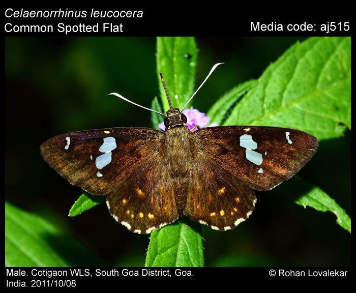 Celaenorrhinus leucocera wwwifoundbutterfliesorgmediaimagesCelaenorrhi