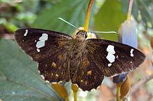 Celaenorrhinus putra httpsuploadwikimediaorgwikipediacommonsthu