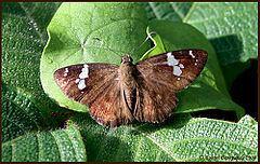 Celaenorrhinus ruficornis httpsuploadwikimediaorgwikipediacommonsthu