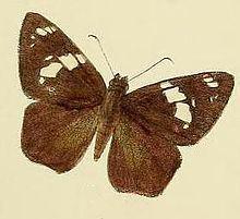 Celaenorrhinus spilothyrus httpsuploadwikimediaorgwikipediacommonsthu
