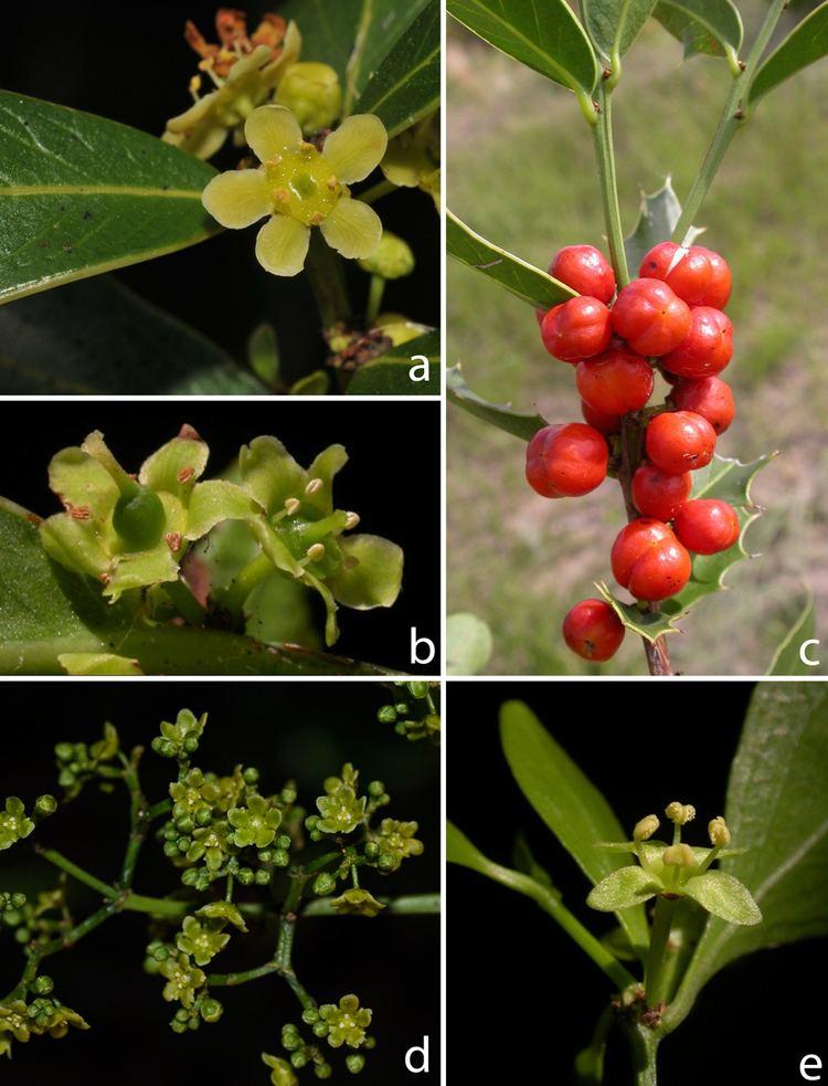 Celastraceae Laboratorio de Sistemtica de Plantas Vasculares Curso SPV