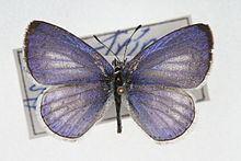 Celastrina gozora httpsuploadwikimediaorgwikipediacommonsthu