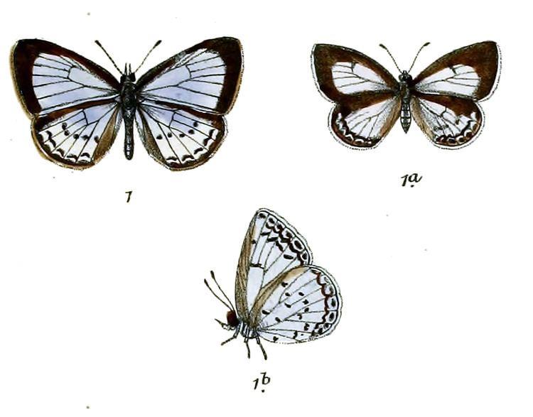 Celastrina iynteana