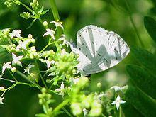 Celastrina serotina httpsuploadwikimediaorgwikipediacommonsthu