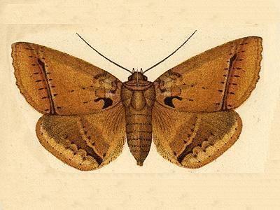 Celiptera cometephora