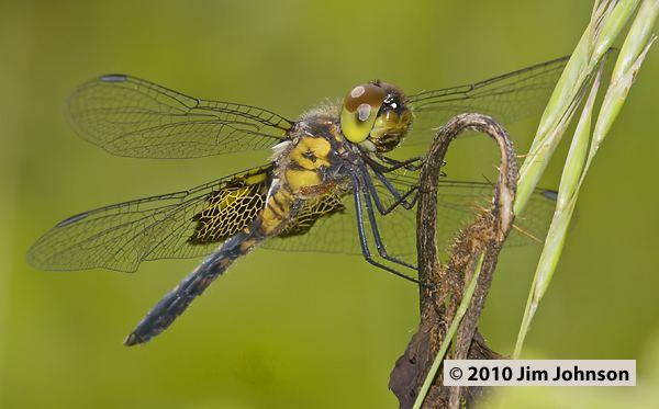 Celithemis Photos of the dragonfly Celithemis martha Martha39s Pennant