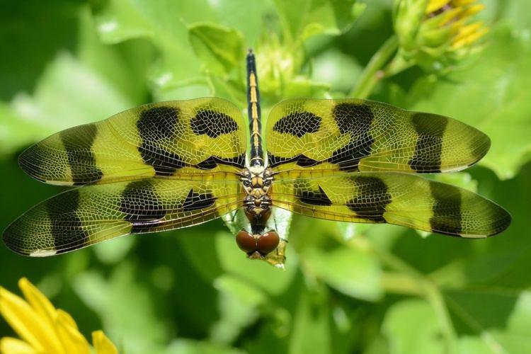 Celithemis Backyard bug profile Celithemis eponina Benweb 32