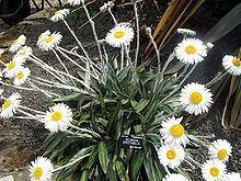 Celmisia spectabilis httpsuploadwikimediaorgwikipediacommonsthu
