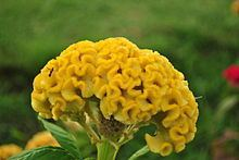 Celosia argentea var. cristata httpsuploadwikimediaorgwikipediacommonsthu
