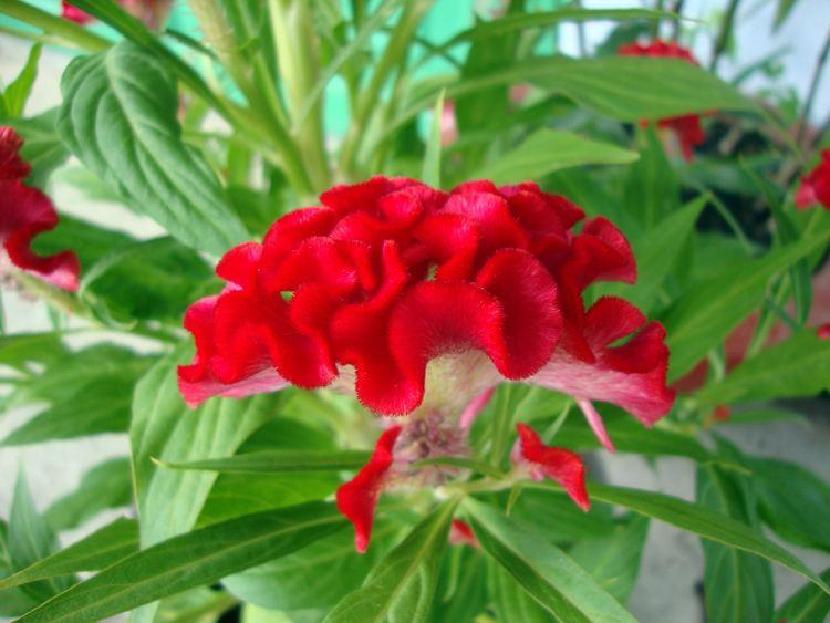 Celosia argentea var. cristata FileCelosia argentea var cristataJPG Wikimedia Commons