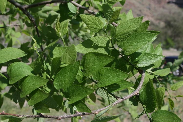 Celtis reticulata netleaf hackberry Celtis reticulata