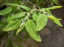 Celtis reticulata httpsuploadwikimediaorgwikipediacommonsthu