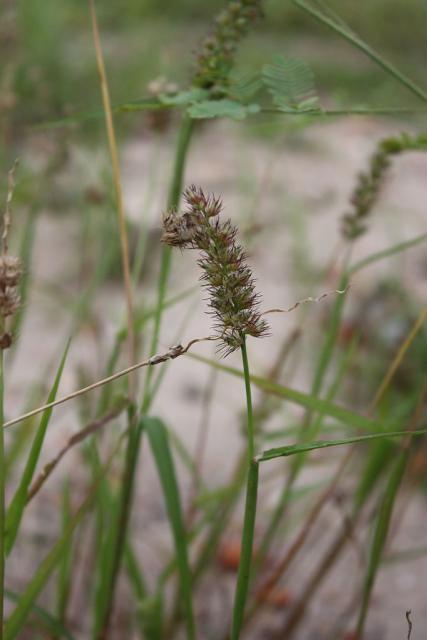 Cenchrus biflorus Indian sandbur Cenchrus biflorus Feedipedia