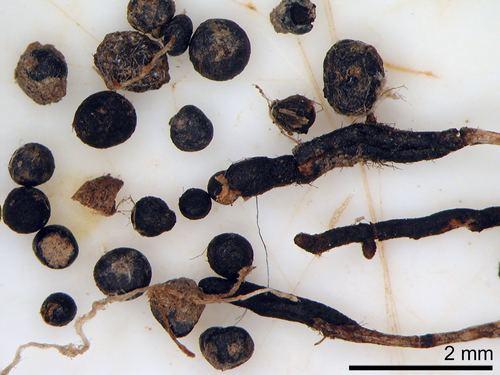 Cenococcum geophilum Cenococcum geophilum observed by cooperj NatureWatch NZ