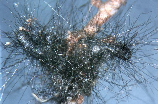 Cenococcum geophilum Single Item