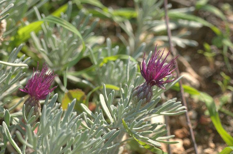 Centaurea akamantis Centaurea akamantis Environment Centre Episcopi Paphos Flickr