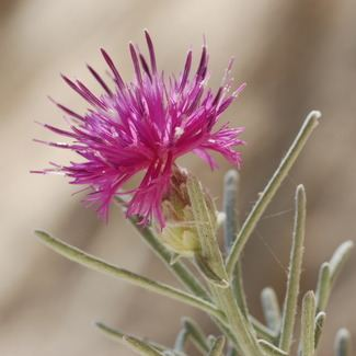 Centaurea akamantis Personalised Gifts For Him For Her Kew
