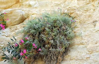 Centaurea akamantis Centaurea akamantis Flora of Cyprus a dynamic checklist